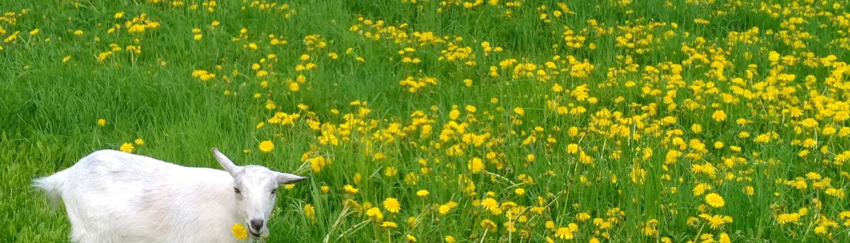 Spring Dandelions Credit Jerry Hiam PutneyPics