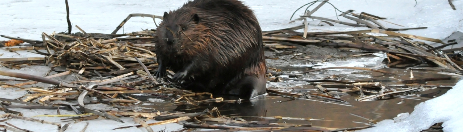 Busy Beaver Credit Jerry Hiam PutneyPics